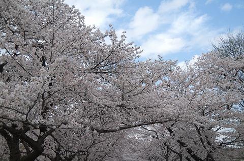 桜 20140403
