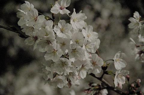 夜桜 20140403 アップ