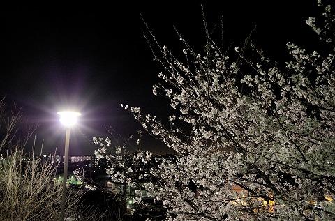 夜桜 20140403