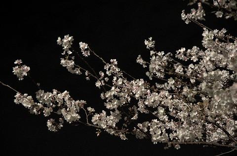 夜桜 20140403 no3