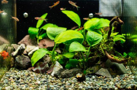 石巻貝の殻 水槽