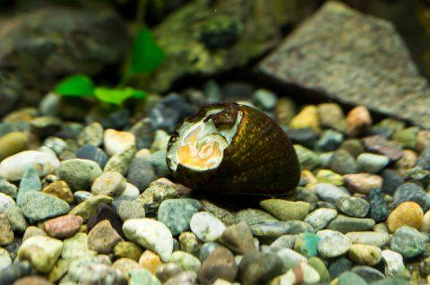 石巻貝の殻