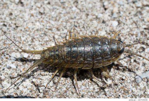 PIXTAフナ虫。