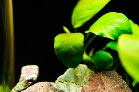 アヌビアス・ナナの葉の苔。
