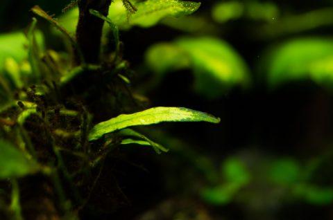 ミクロソリウム 新芽。