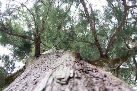 伊勢神宮 外宮 杉の木。
