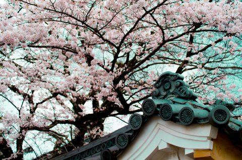 伊勢神宮 内宮 桜