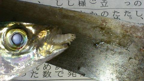 大野漁港 釣果 2013/10/06